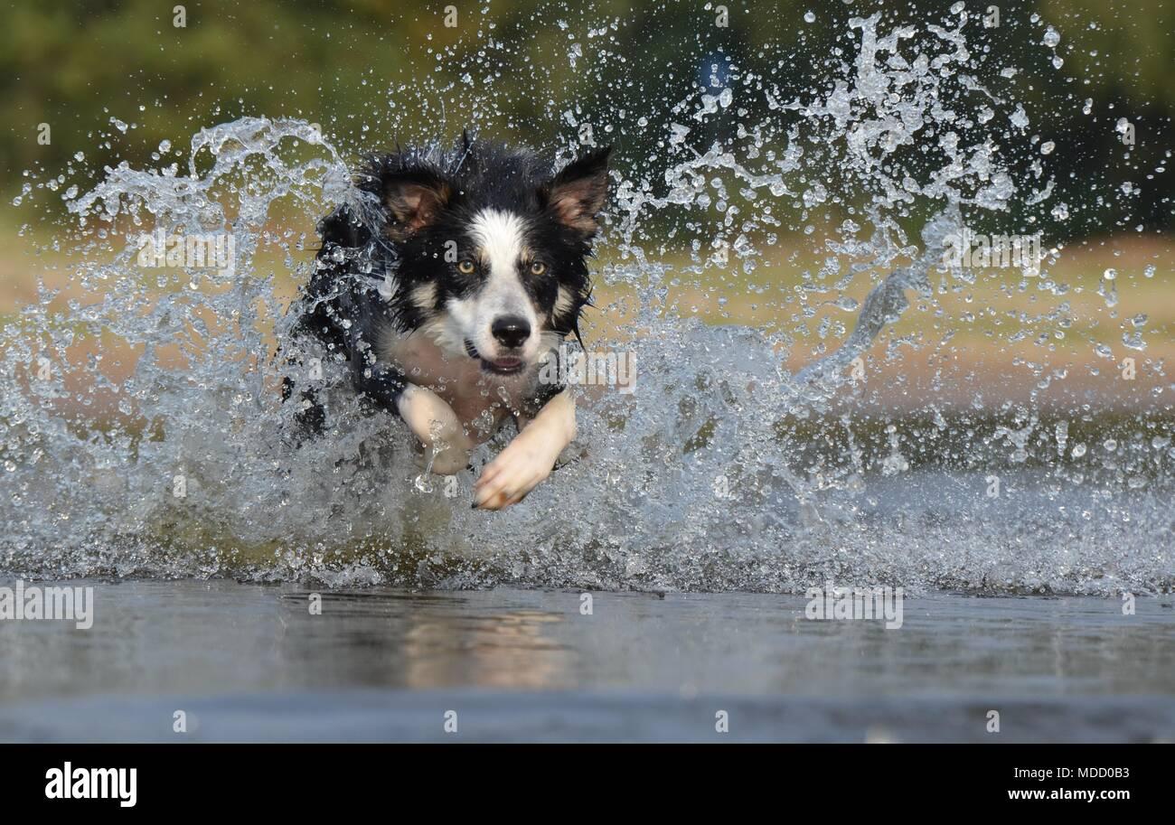 Los perros domésticos Foto de stock