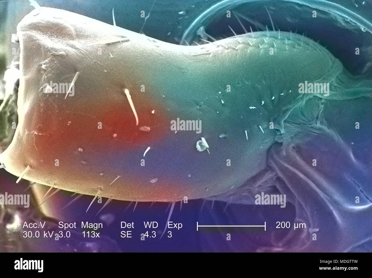 Primer segmento de un desconocido roach jefe región y antena, representado en el 113x captura ampliada con microscopía electrónica (SEM) imagen, 2005. Imagen cortesía de los Centros para el Control de Enfermedades (CDC) / Janice Haney Carr. Nota: la imagen ha sido coloreada digitalmente mediante un proceso moderno. Los colores pueden no ser científicamente precisa. () Imagen De Stock
