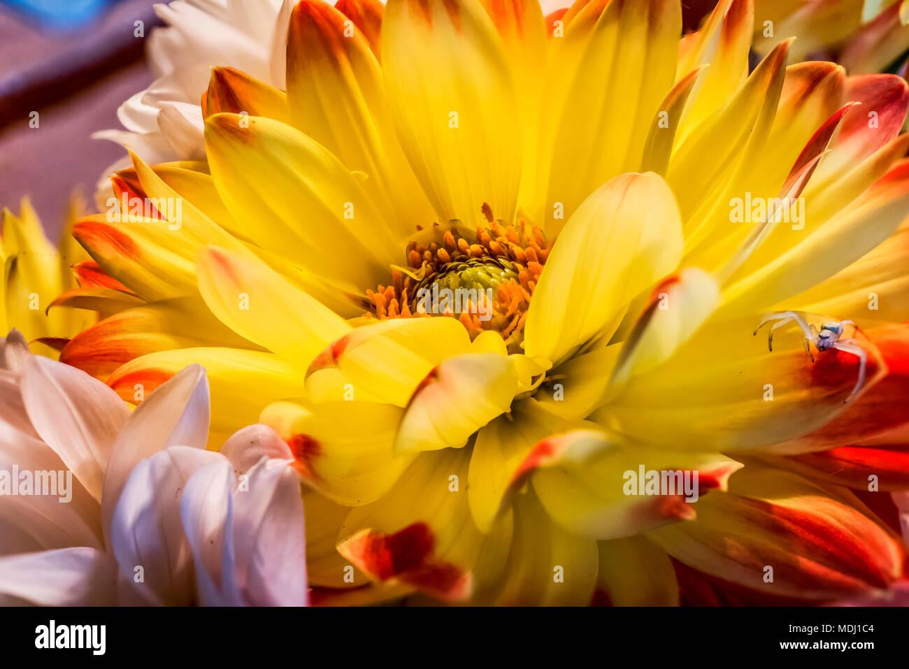 c59fd05471fd Amarillo y rojo dalia flor con una araña blanca en un pétalo  Estados  Unidos de