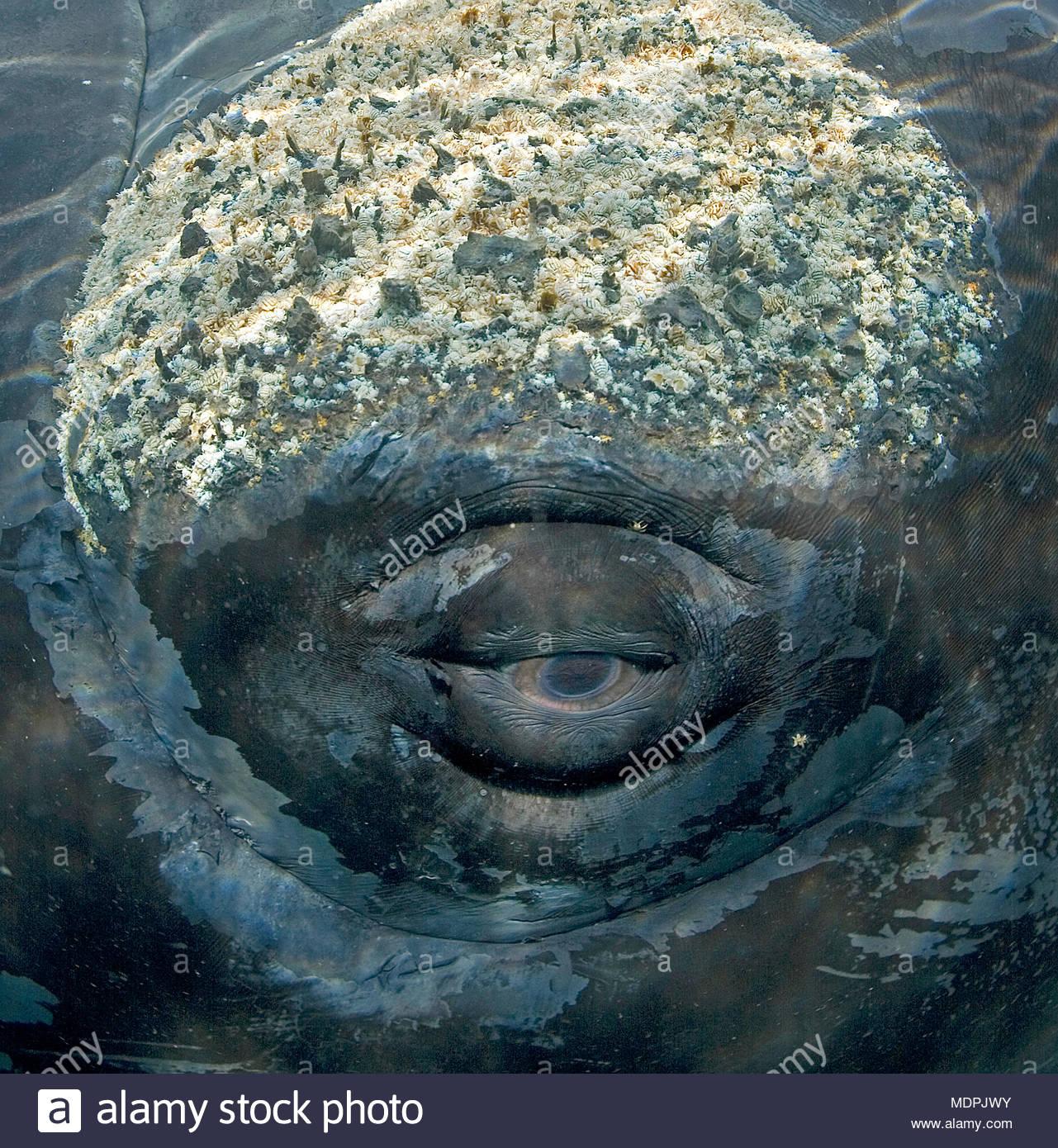Ojo de ballena franca austral (Eubalaena australis), callosidades con percebes (Balanidae) y cortes (cyamids ballena) en cabeza, Península Valdés, Patag Imagen De Stock