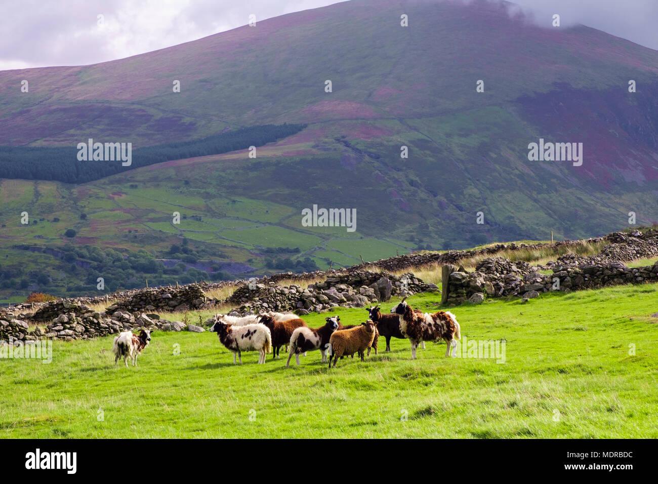 Un rebaño de ovejas Jacobs de raza rara en un campo en Moel Smytho en las colinas del Parque Nacional de Snowdonia cerca de Waunfawr, Gwynedd, Gales, Reino Unido, Gran Bretaña Foto de stock