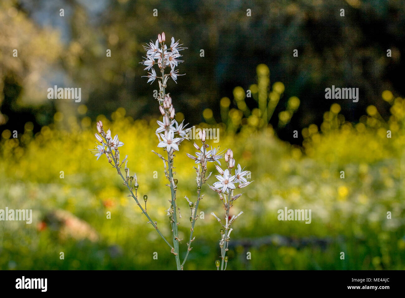 Asparagales Order Imágenes De Stock & Asparagales Order Fotos De ...