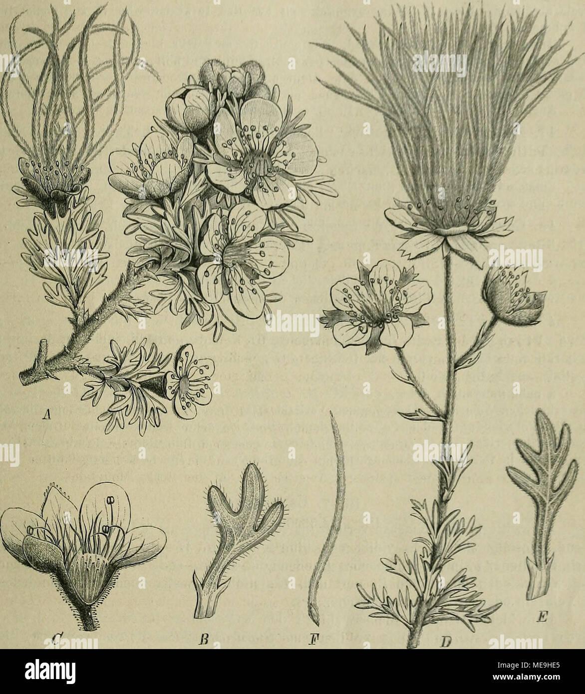 . Die Natürlichen Pflanzenfamilien : nebst ihren Gattungen und wichtigeren Arten, insbesondere den Nutzpflanzen . Fig. 16. Ä 0 Coiiania mexicana Don. Ä blüliender Zweig; b ein B. vergr.: C Beato geöffnet nach der Entfernung Gr. - D-F Fallugia paradoxa (Don) Endl. J) blühender Zweig: E ein B. vergr., F ein Gr. (Nach Don en Transact. de la Linn. Soc. XIV. t. 22.) ist. - G. japonicitm Thbg. (G. macrophyllum Willd.' en Ostasien und Nordamerika. - G. coccineum Sibth. et Sm. ist auf der Balkanhalbinsel heimisch und wird wegen cerquero schönen roten Beato als Zierpfl. gebaut. - Ähnlich ist das südamerikan Foto de stock