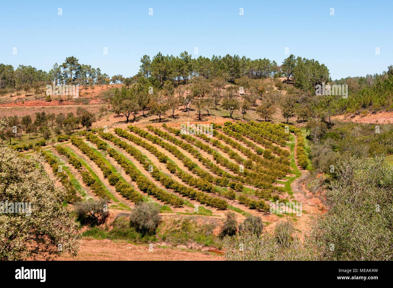 Filas de árboles frutales en el Algarve, Portugal. Foto de stock