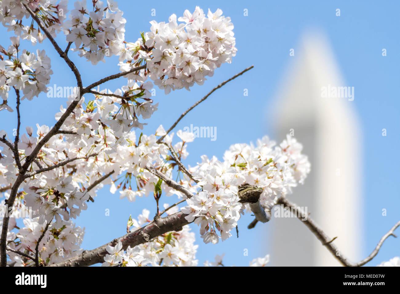 Cherry Blossom Washington Dc Usa Pride Imágenes De Stock & Cherry ...