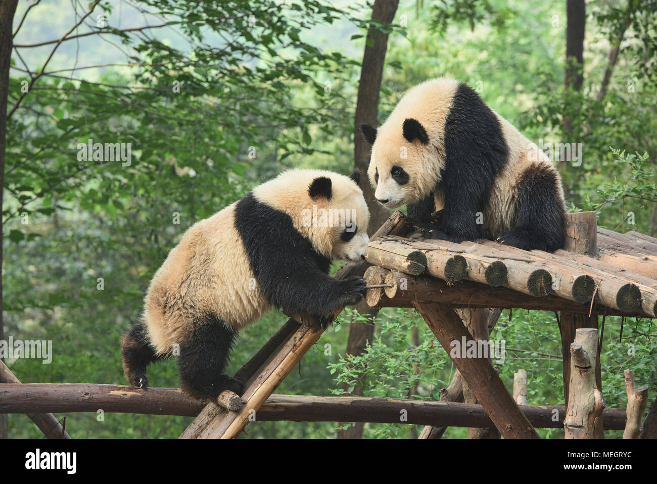 Pandas Gigantes en la base de investigación Chengdu de cría de pandas gigantes de Chengdu, Sichuan, China Imagen De Stock