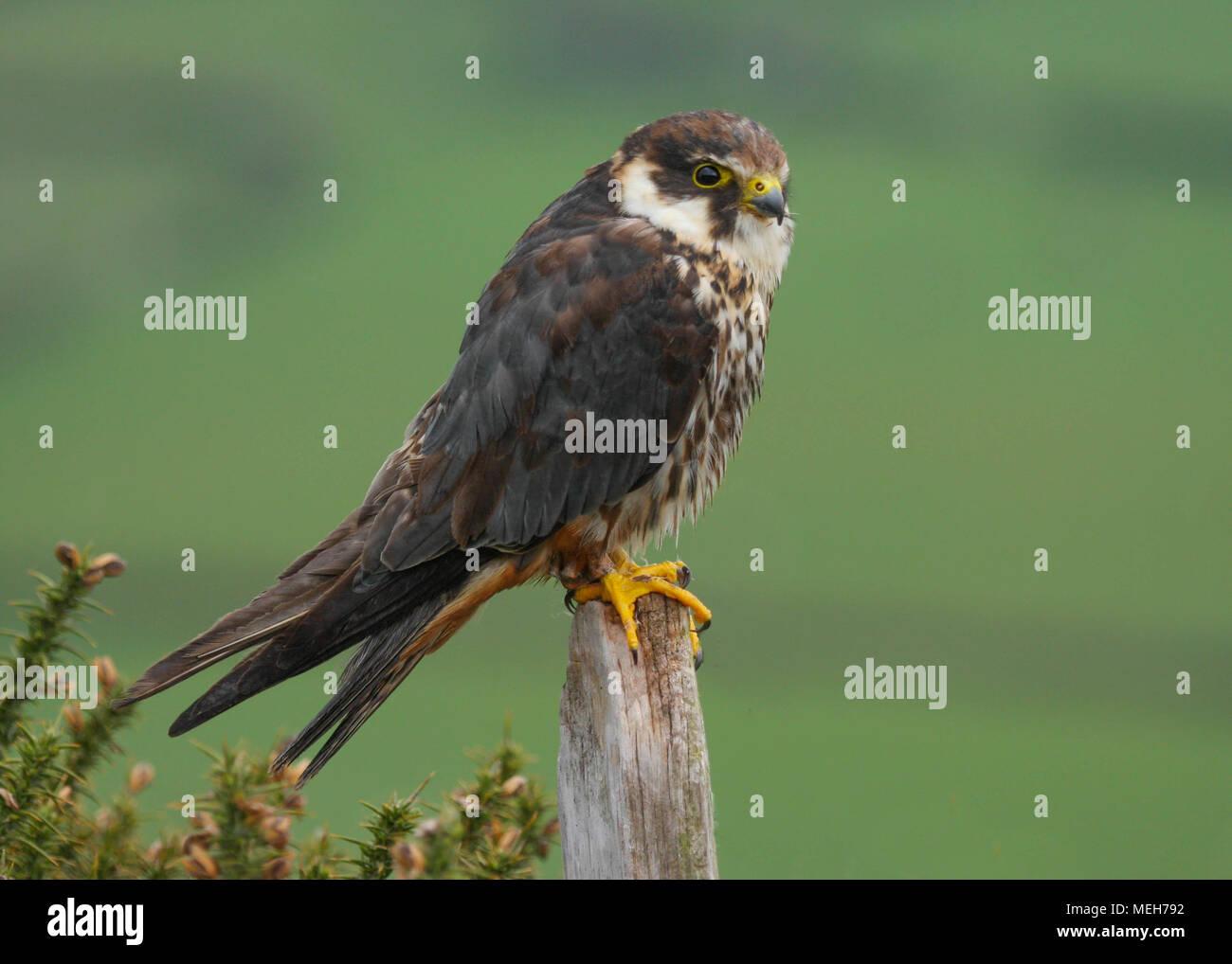 Hobby (Falco Subbuteo) posado sobre un poste en la campiña de Gales UK Imagen De Stock