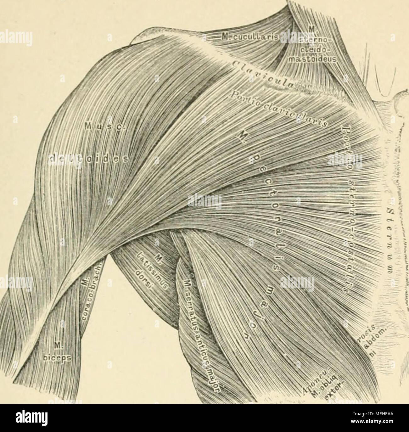 Brustmuskel Imágenes De Stock & Brustmuskel Fotos De Stock - Alamy