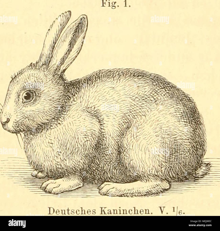 Gemütlich Anatomie Von Kaninchen Galerie - Anatomie Von Menschlichen ...