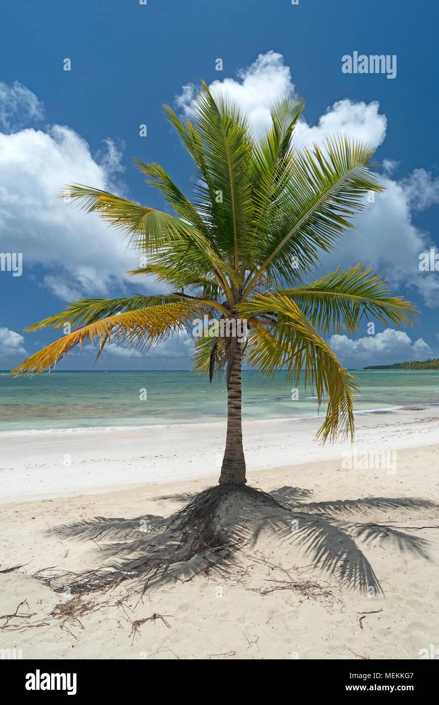 Palmera de coco en la playa caribeña en la República Dominicana Imagen De Stock