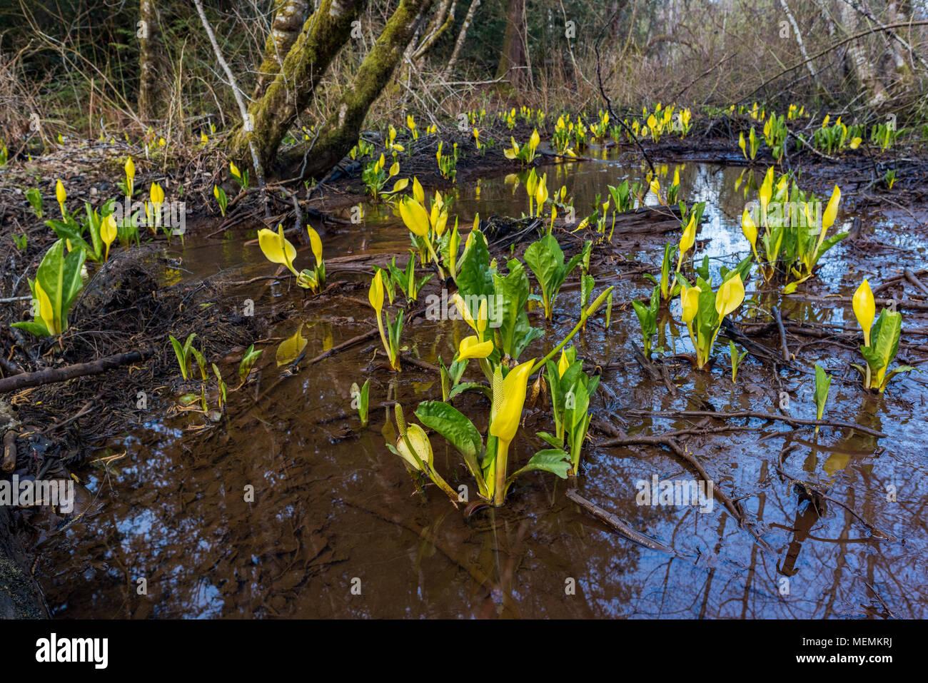 Linternas de pantano aka Skunk repollo flores, Lysichiton americanus, Cumberland, Cumberland, Forestal de la comunidad de la isla de Vancouver, British Columbia, Canadá. Foto de stock