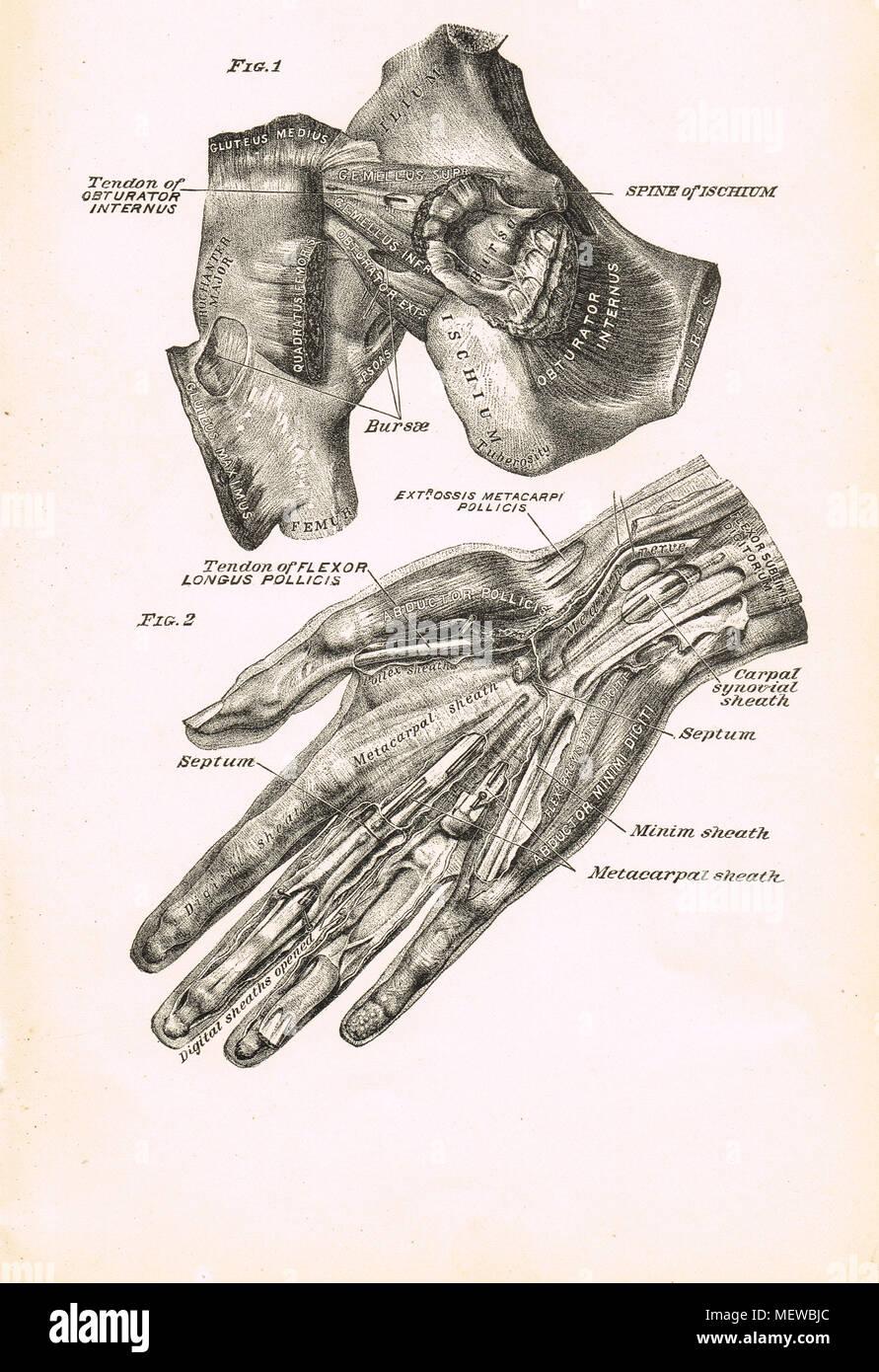 Anatomía Humana, la mano y la articulación de la cadera, la ...