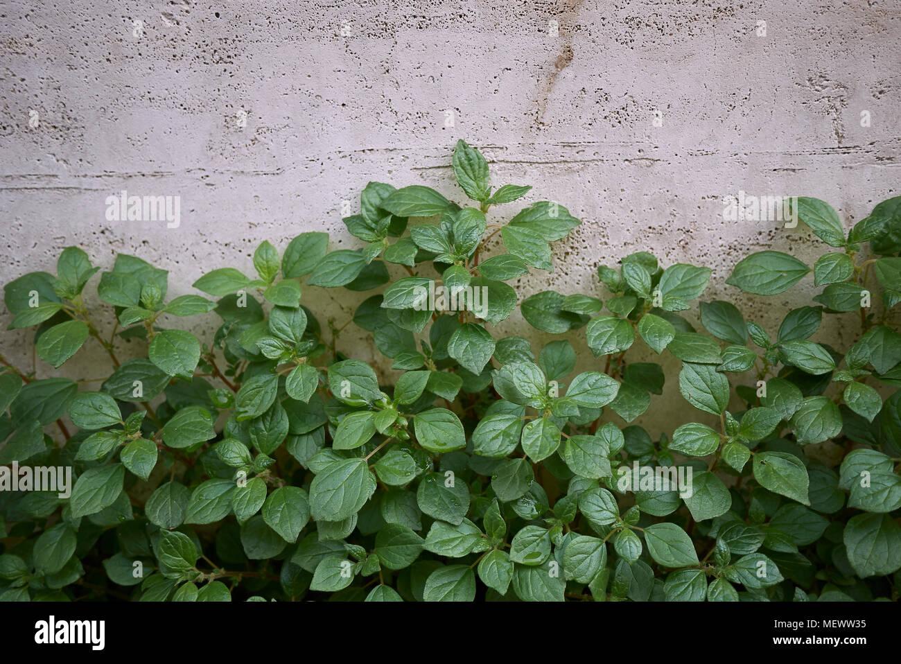 P Lenes De Parietaria Officinalis Plantas Foto Imagen De Stock