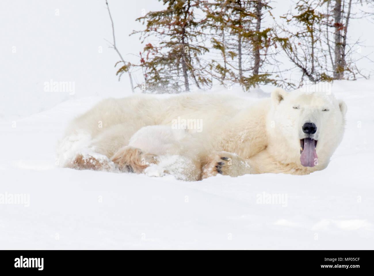 La madre intenta descansar como sus dos oseznos empiezan a activo. Ella es una fuente de comida, una cama y un corralito. Imagen De Stock