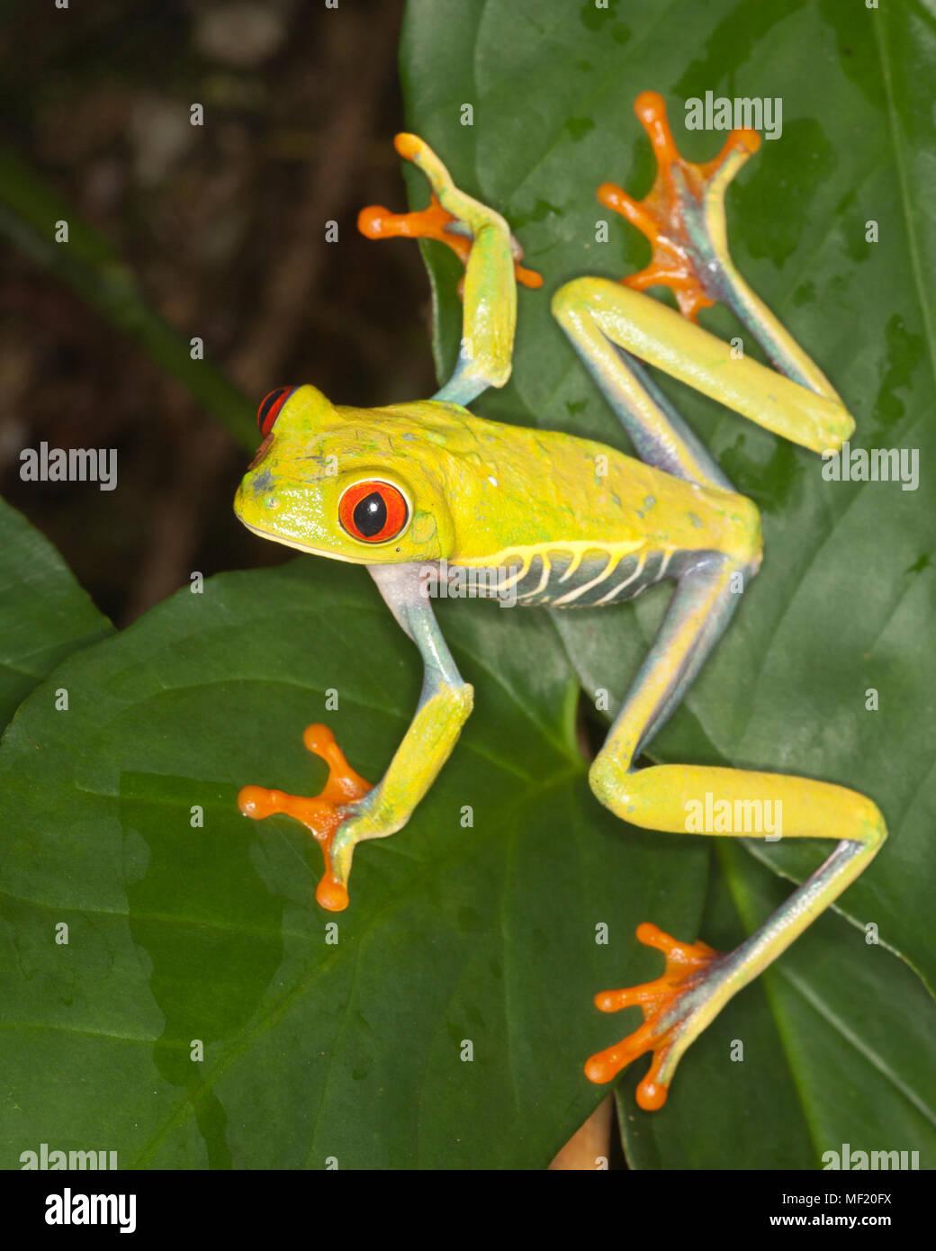 La rana arborícola de ojos rojos (Agalychnis callidryas) en la hoja en la selva Foto de stock