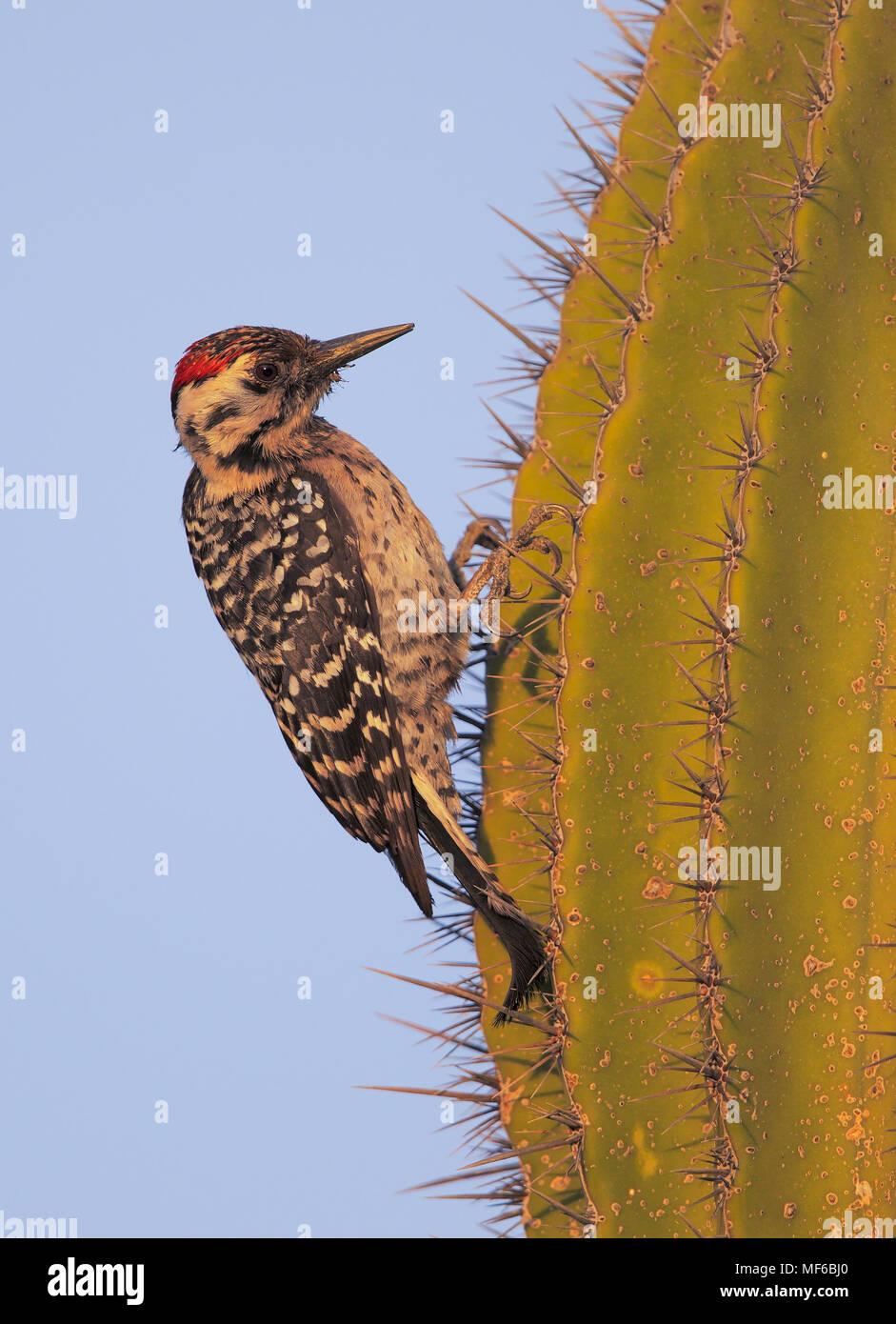 Escalera.respaldado Woodpecker Imagen De Stock
