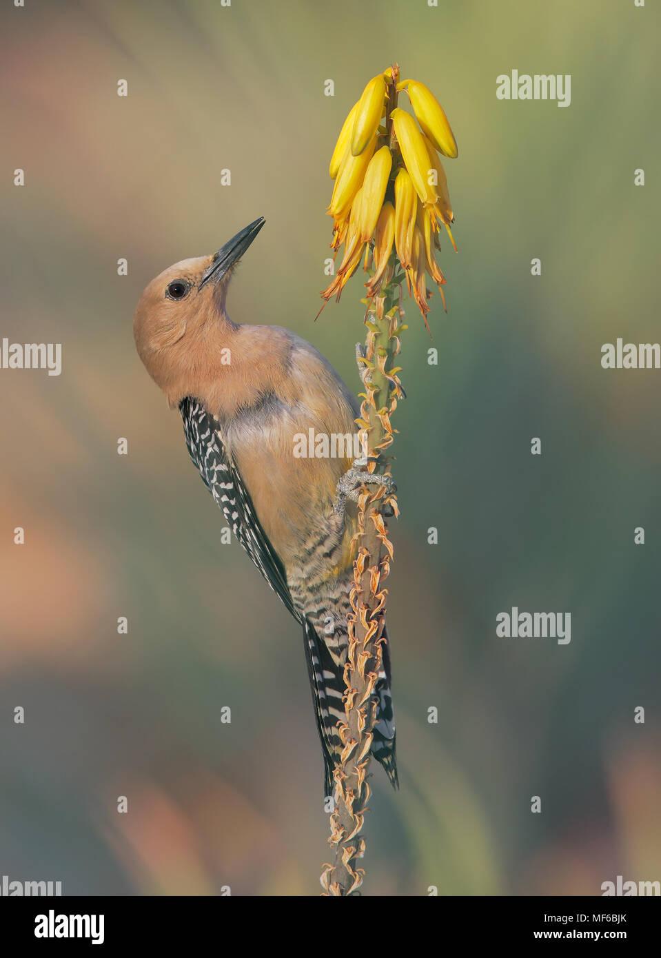 Gila Woodpecker Imagen De Stock