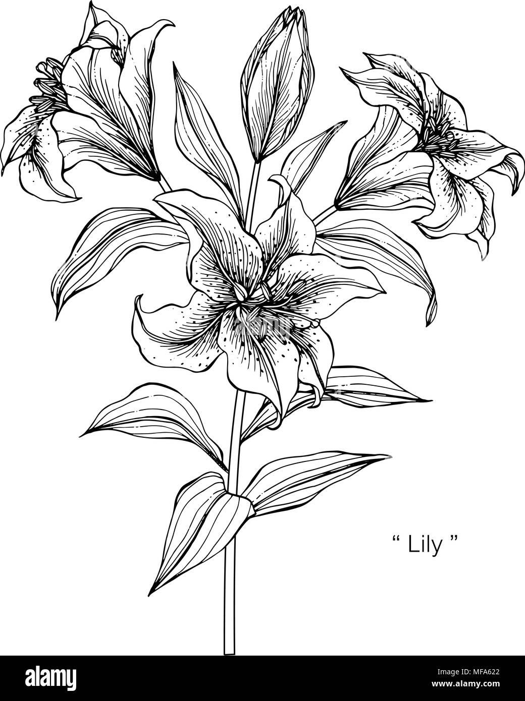Dibujo De Flor De Lis De La Ilustración Blanco Y Negro Con Líneas