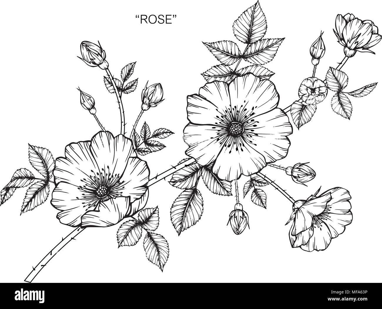 Ilustración Dibujo De Flores Rosas. Blanco Y Negro Con