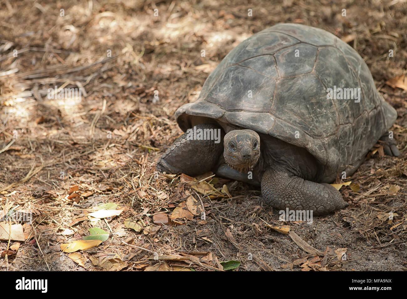 Tortuga Gigante de las Seychelles. La isla de Praslin, Seychelles Foto de stock