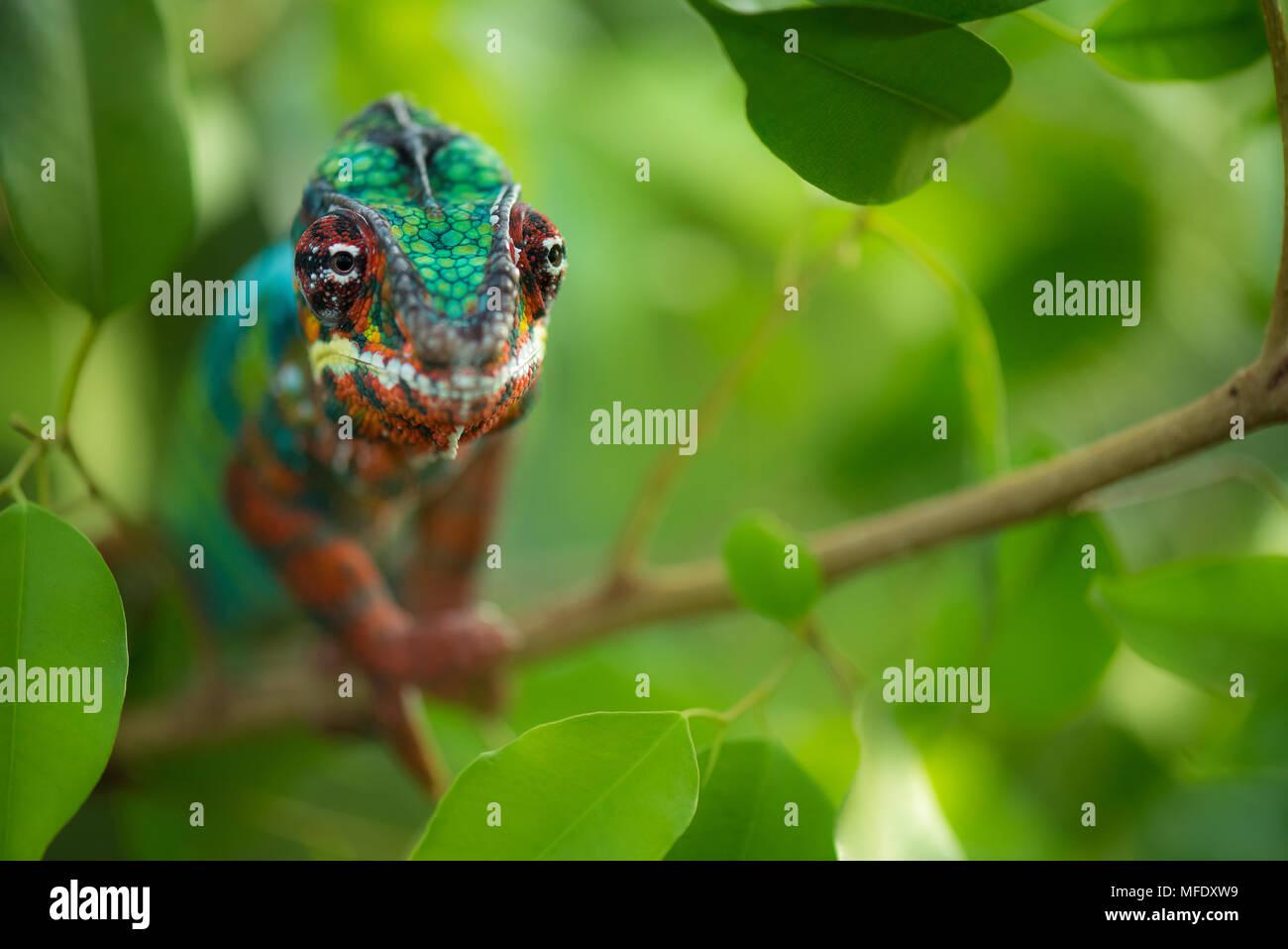 Camaleón pantera con brillantes colores / Ambilobe / Madagascar / fauna Furcifer pardalis / chameleon en rama Imagen De Stock