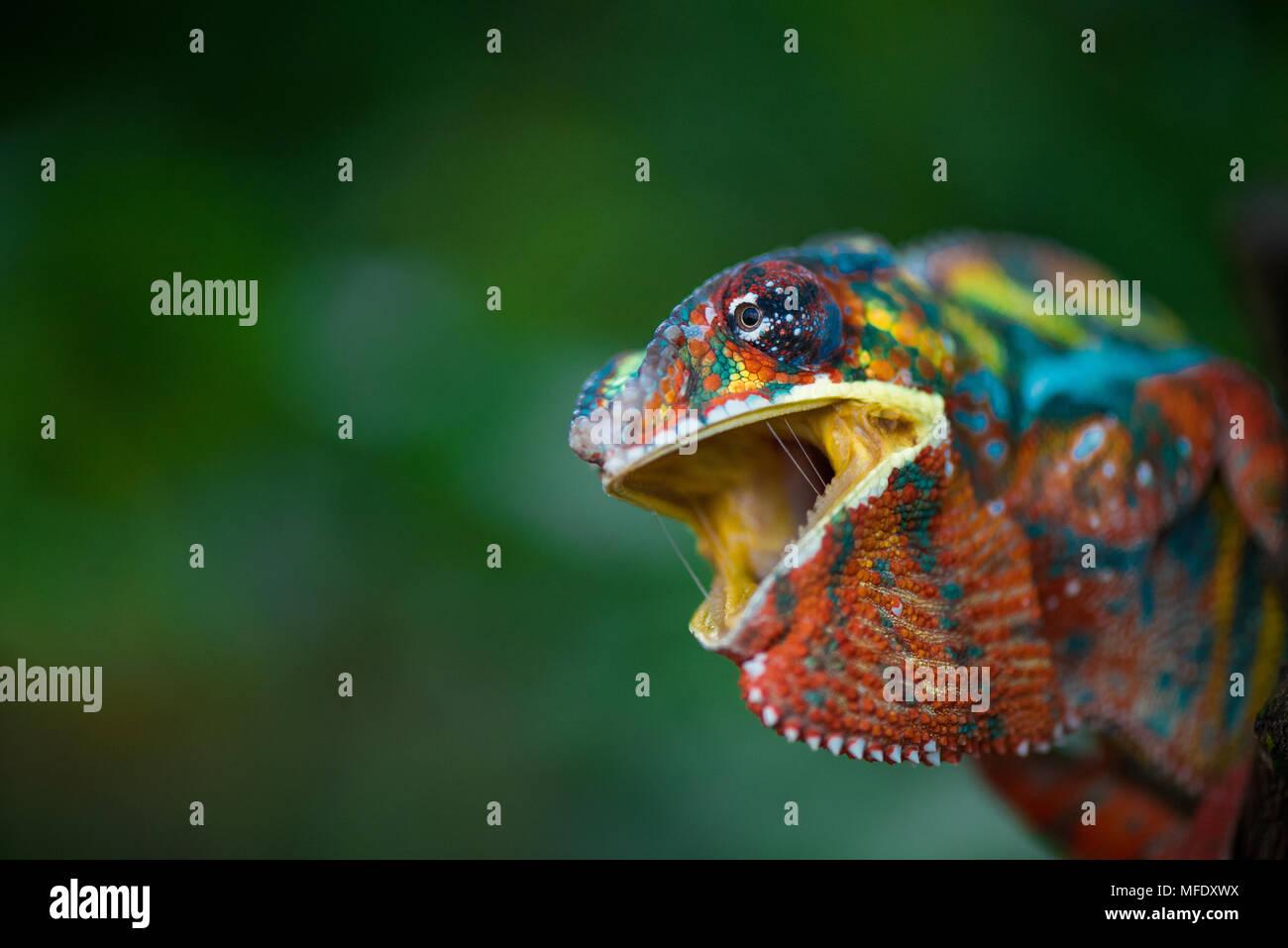 Camaleón pantera con brillantes colores / Chameleon con montaje abierto / / / silbido enojados camaleón Furcifer pardalis Ambilobe / Imagen De Stock