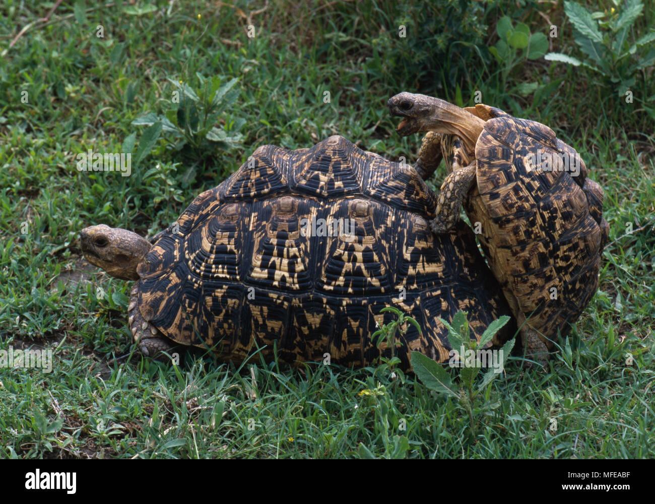 Tortugas leopardo par acoplamiento Geochelone pardalis Parque Nacional del Serengeti, Tanzania, África Foto de stock