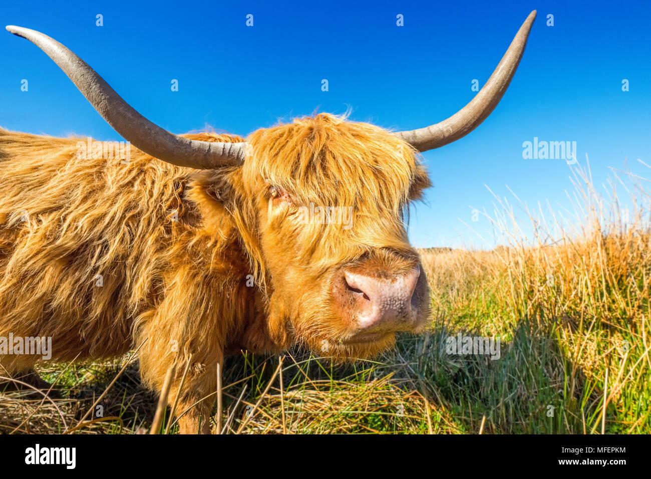 Highland cow / ganado pastando en páramos Foto de stock