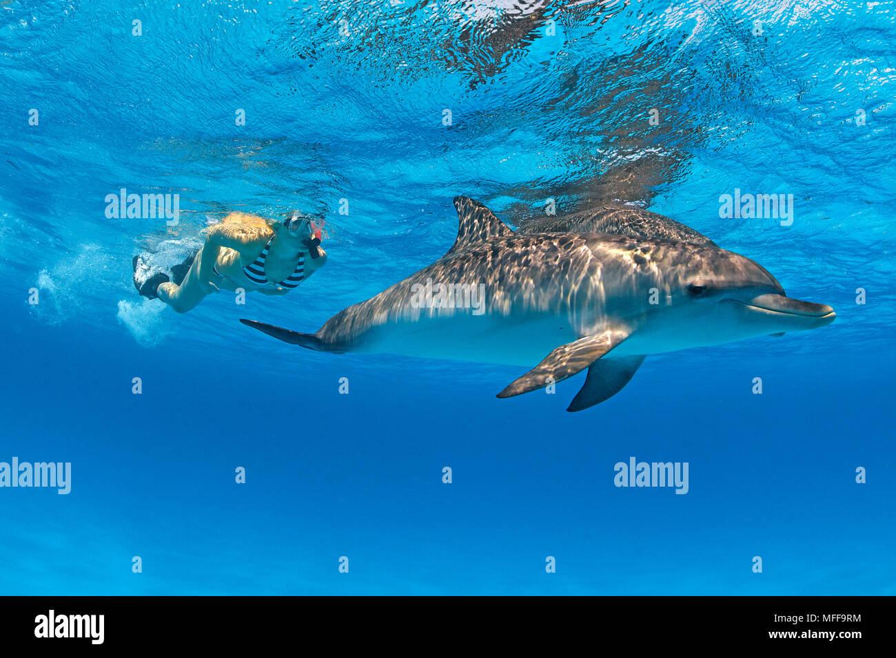 Buceador y delfines moteados del Atlántico (Stenella frontalis), Gran Bahama, Bahamas Foto de stock