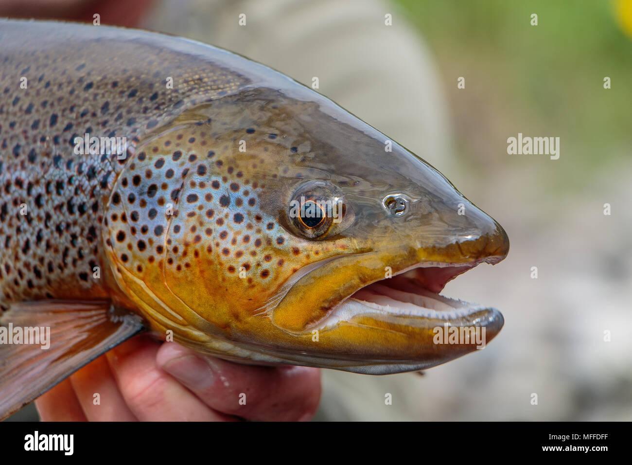 Cierre de disparo a la cabeza de una impresionante truchas salvajes de un espécimen de tamaño. Un pez de toda una vida para cualquier pescador con mosca. Imagen De Stock