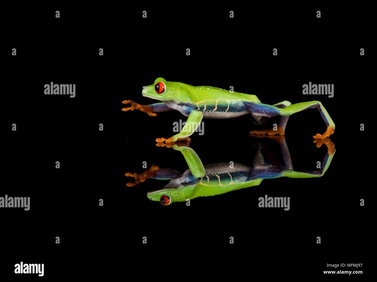 Ojos rojos Ojos rojos Tree Frog reflejado en un ajuste de estudio Imagen De Stock
