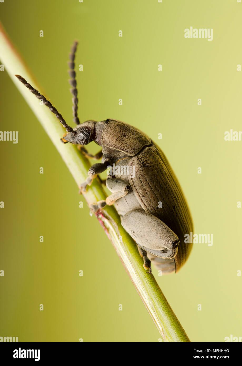 Chrysomelidae Imagen De Stock