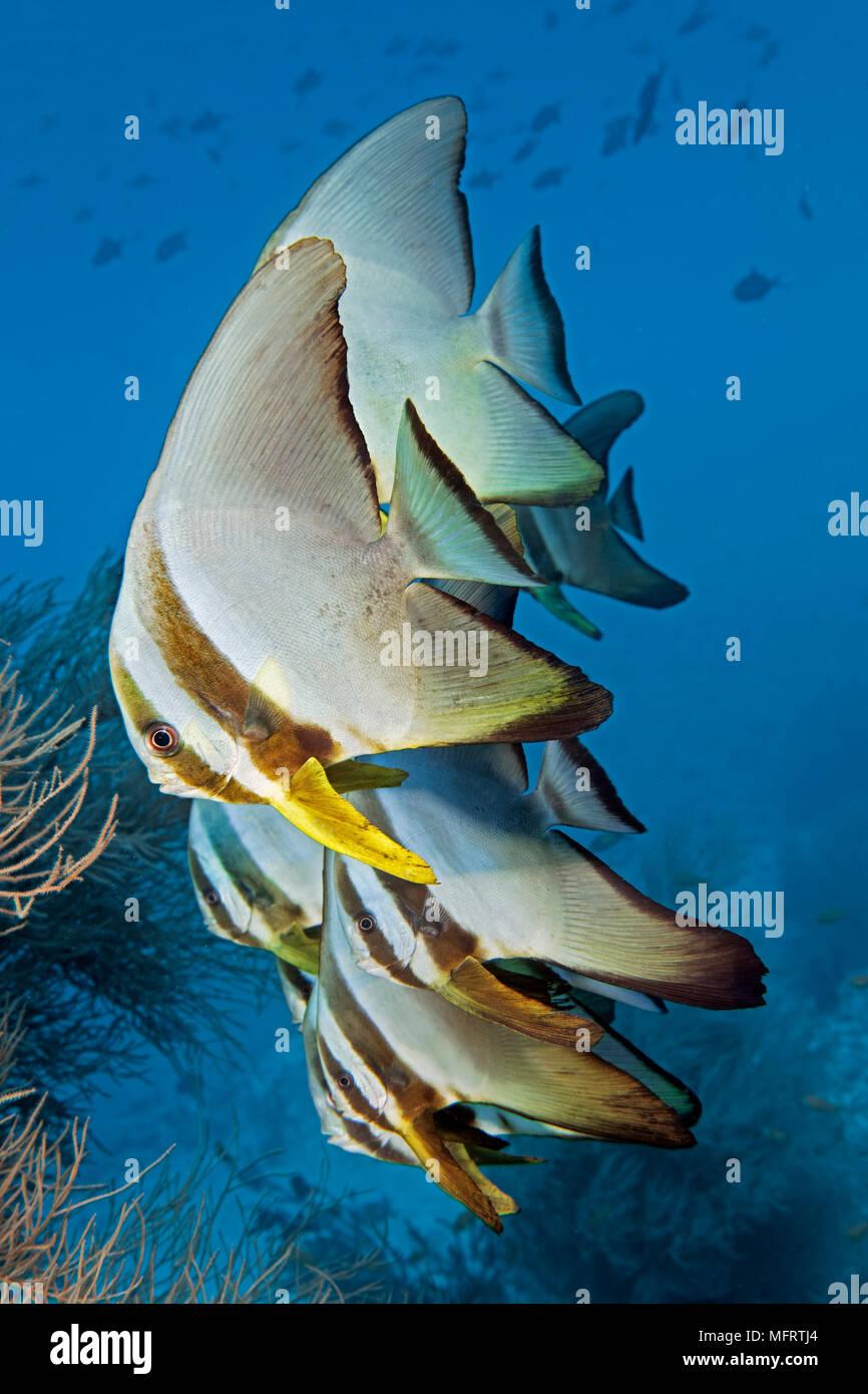 Enjambre de pescado Longfin Batfish (Platax teira), juvenil, el Océano Índico, Maldivas Imagen De Stock