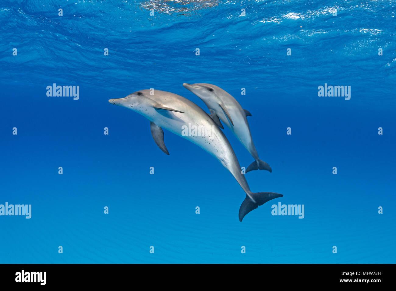 Delfines moteados del Atlántico (Stenella frontalis), madre de ternera, Bahama Bancos, Bahamas Foto de stock