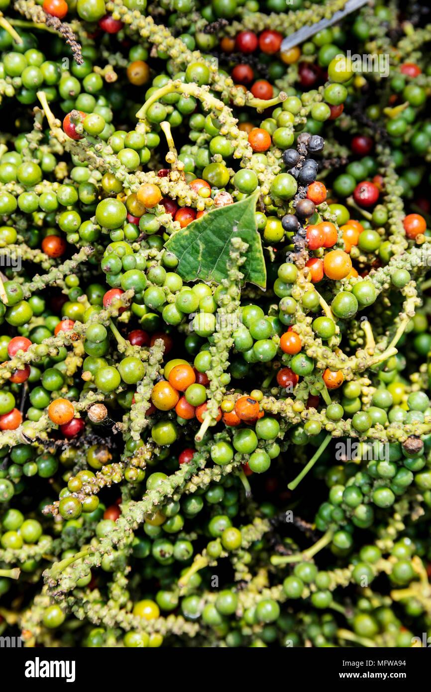 Pimienta recién cosechadas frutas (Pepper callos) en una plantación en Kampot, Colombia Imagen De Stock