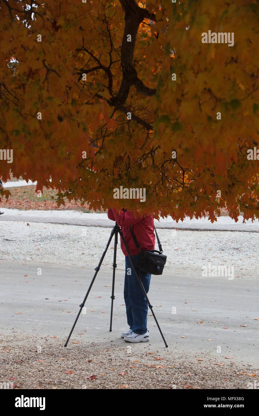 Imagen de un humorístico anónimos, no identificados shutterbug fotógrafo aficionado con la cabeza oculta por el otoño las hojas de un árbol grande tomando una fotografía Imagen De Stock