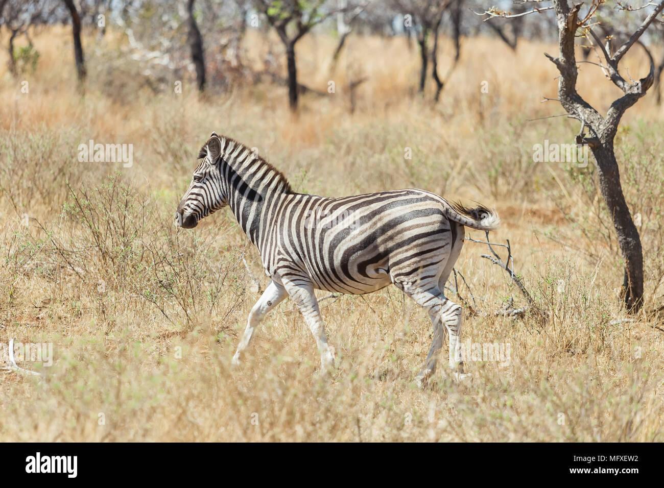 Fotografiado en un safari en una reserva de caza de Sudáfrica Imagen De Stock