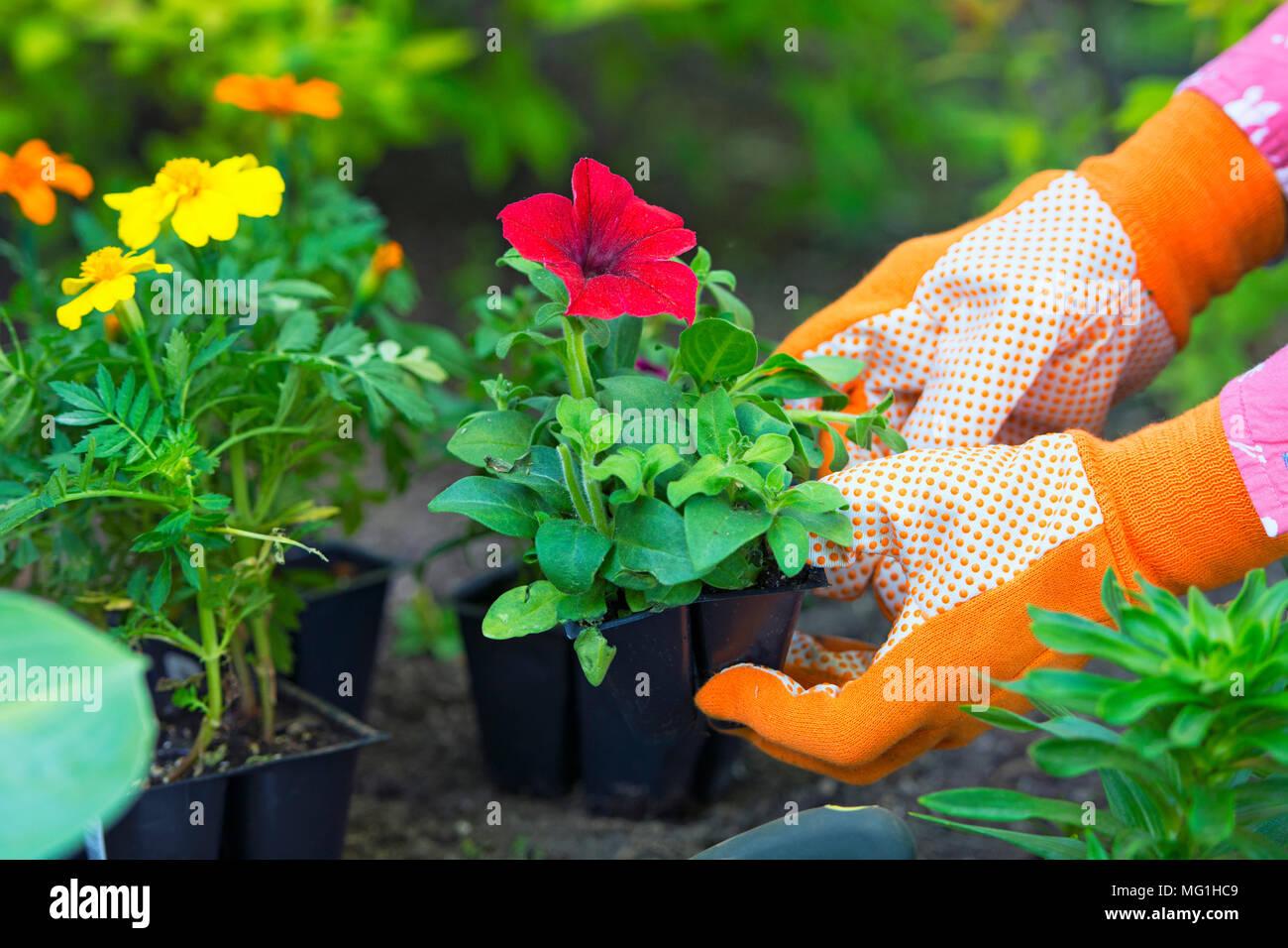 Jardinería, plantación, Flores, Mujer sosteniendo las plantas de flores para plantar en jardín, manos de mujer en guantes de jardinería Foto de stock