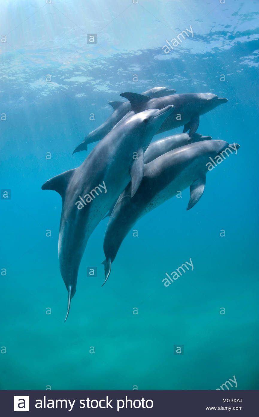 El Grosser Tuemmler (Tursiops truncatus), el Gruppe, Sodwana Bay, Suedafrika | Delfín Mular (Tursiops truncatus), grupo, Sodwana Bay, Sudáfrica Imagen De Stock