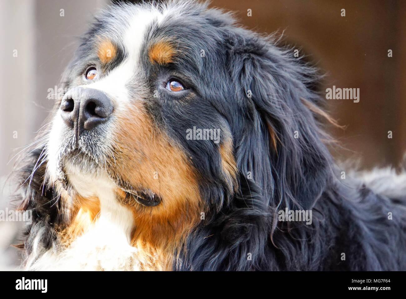 Ver Bernese Mountain Dog Imagen De Stock