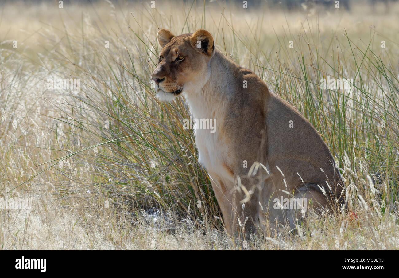 León (Panthera leo) sentarse en la hierba alta, alerta, el Parque Nacional de Etosha, Namibia Imagen De Stock