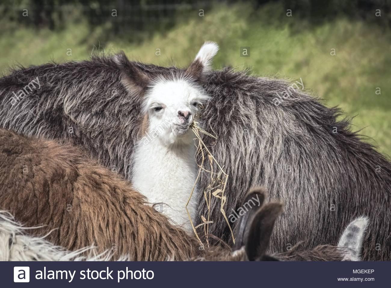 Lama-Fohlen Imagen De Stock