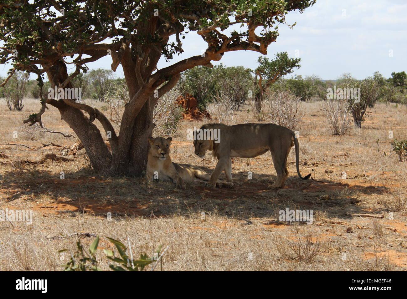 Par de leones descansando en la sombra de un árbol en la sabana después de caza por la noche, uno de ellos mira directamente a la lente, en el parque de Tsavo Foto de stock