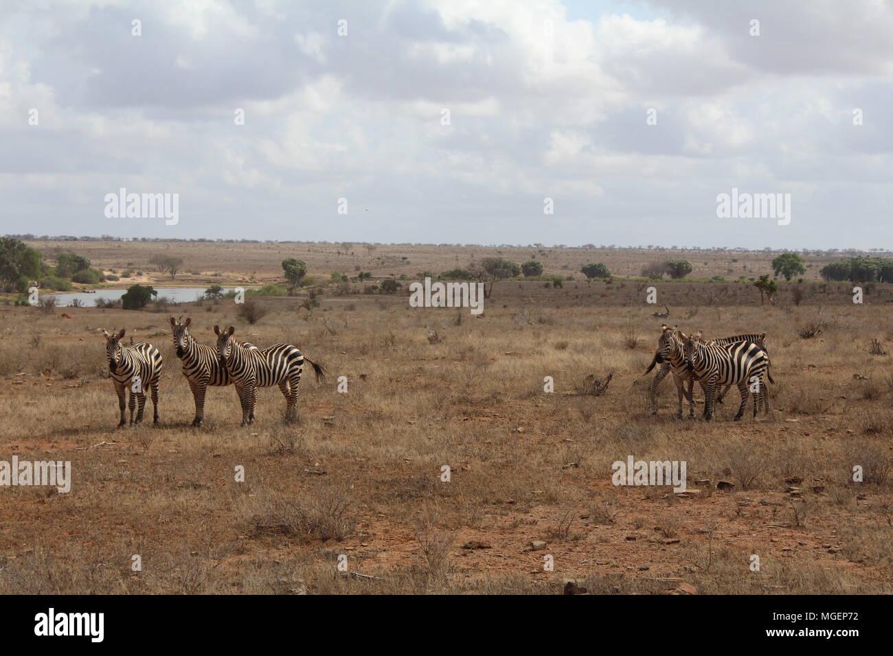 Una manada de cebras está deambulando en medio de la sabana mirando el lente, los colores del Sava están tendiendo al amarillo, mientras que en el cielo ascenso WH Foto de stock