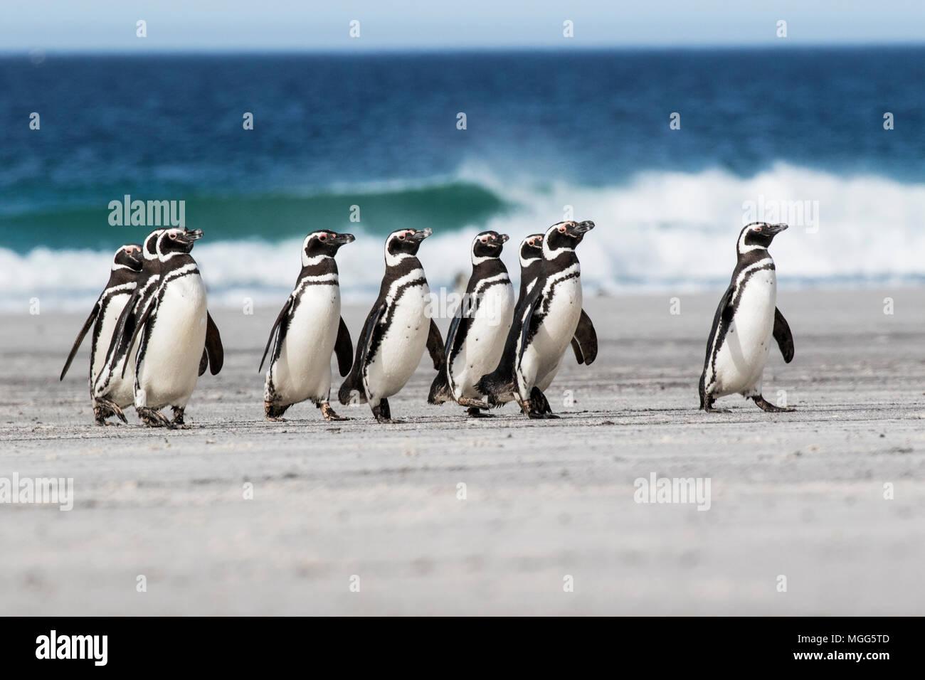 Pingüino de Magallanes Spheniscus magellanicus grupo de adultos caminando por la playa cerca de la colonia de cría, la Isla Saunders, Islas Malvinas Foto de stock