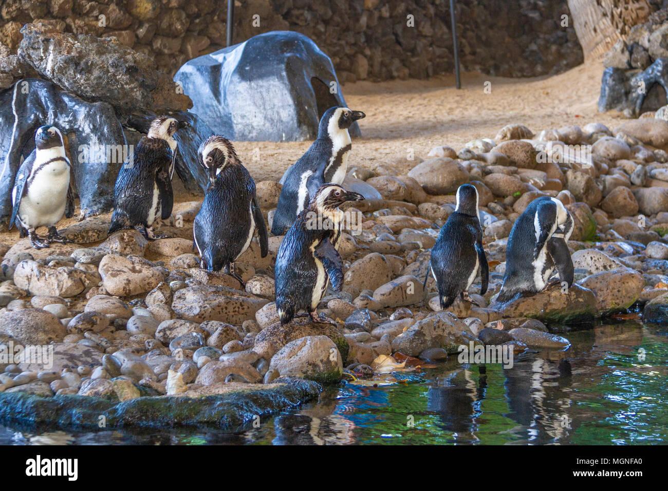 De pingüinos africanos (Spheniscus demersus), también conocido como el africano negro-footed pingüino es una especie en peligro de extinción pingüino. Imagen De Stock