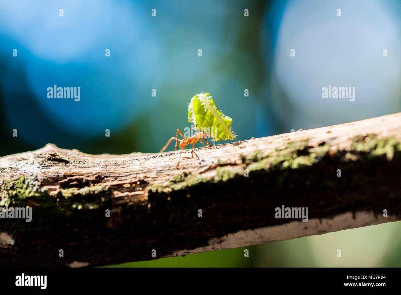 Las hormigas están llevando en hojas Imagen De Stock