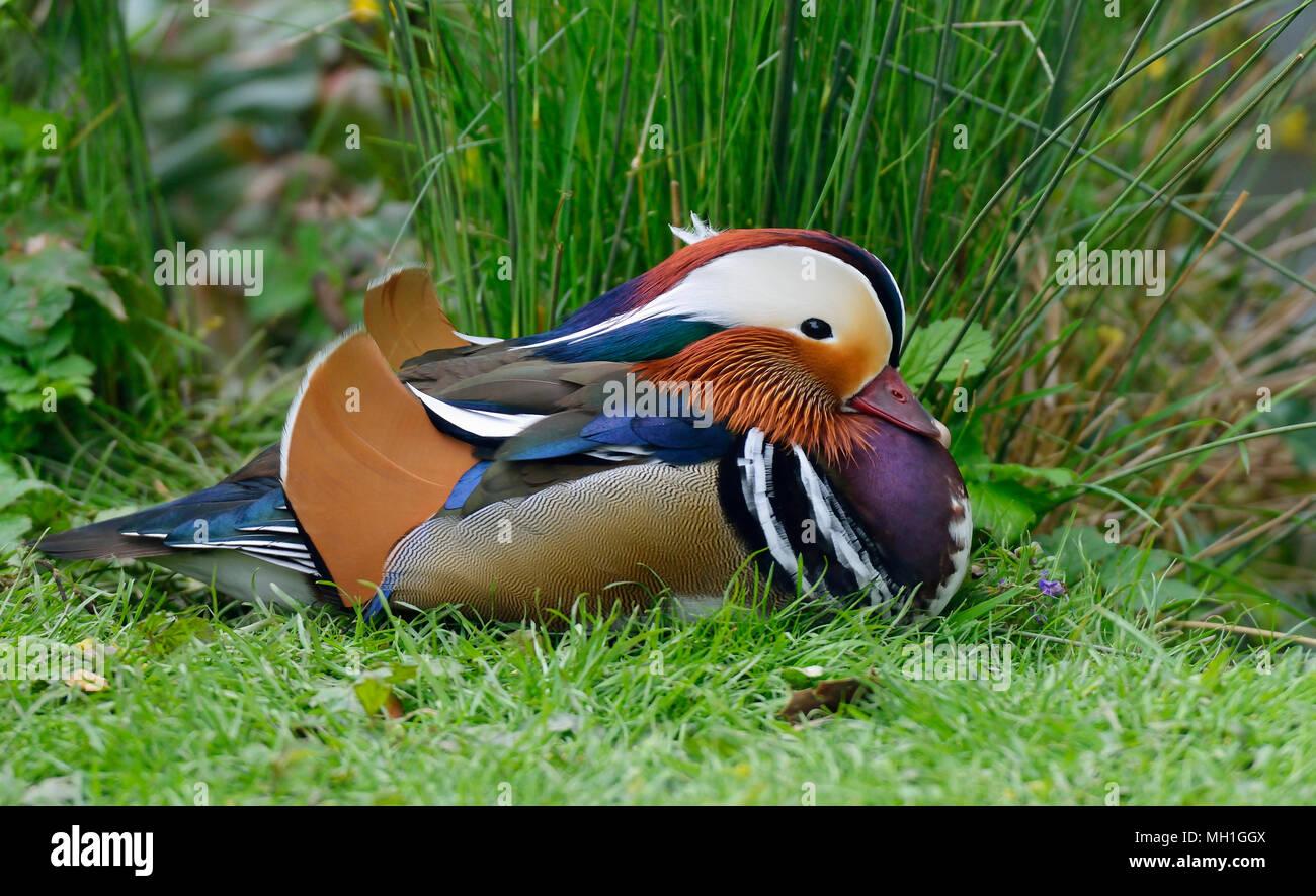 Pato mandarín Aix galericulata - Macho descansando sobre el césped Foto de stock