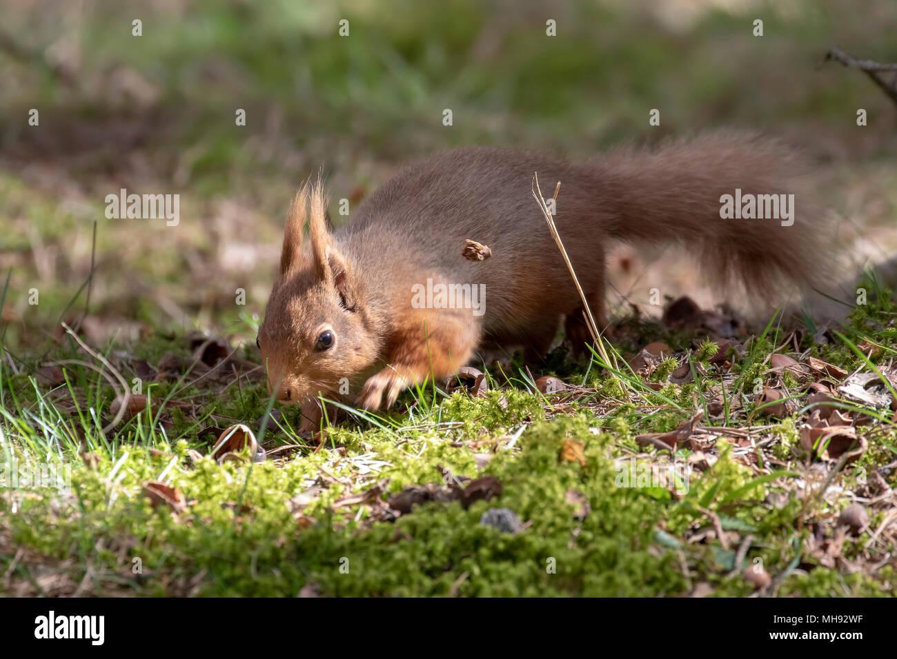 La ardilla roja, Sciurus vulgaris, silueta sentada en brezo y hierba en los bosques de cairngorms national, Escocia comer nueces Foto de stock