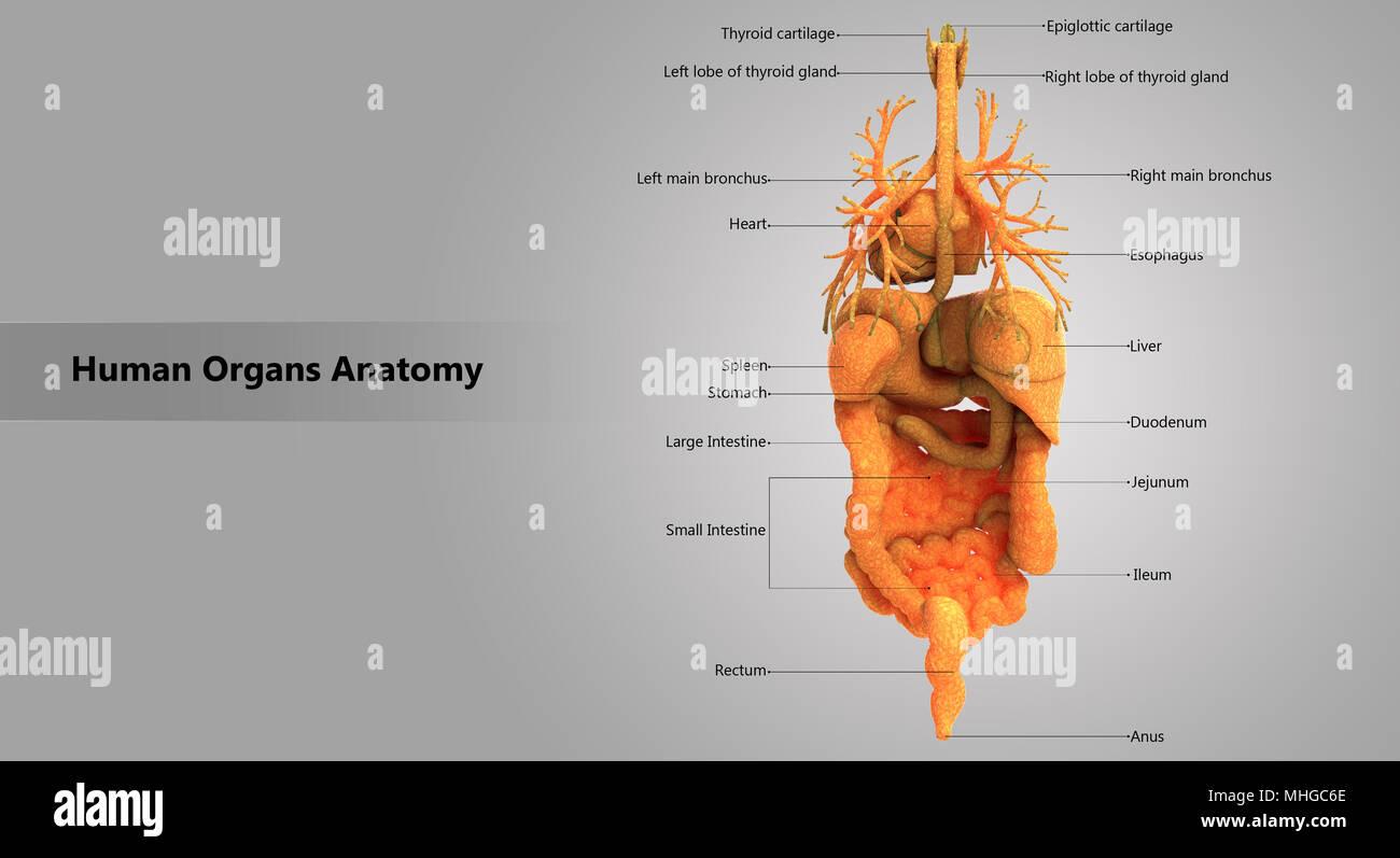Los órganos internos del cuerpo humano Anatomía de diseño con la ...